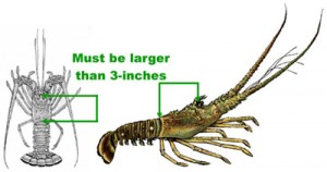 How to Measure a Florida Spiny Lobster