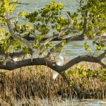 Great White Heron Key West, Florida