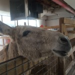 "Monroe County Sheriff's Office Farm Donkey saying ""Hello"" to visitors."