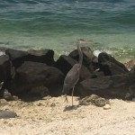 An egret hanging out at the beach at Fort Zachary Taylor.