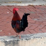 A colorful Key West chicken.