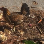 A family of chickens wondering around downtown Key West.