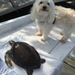 Indiana Bones posing with a sea turtle that Capt. Steven Lamp with Dream Catcher Charters rescued while underway on a charter.