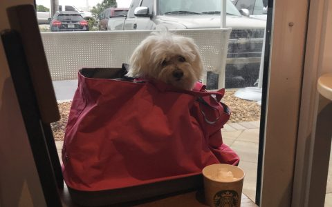 maltese, starbucks, dogs, key west