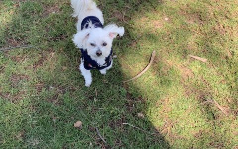 indiana bones, maltese dog, dog park, key west, higgs beach