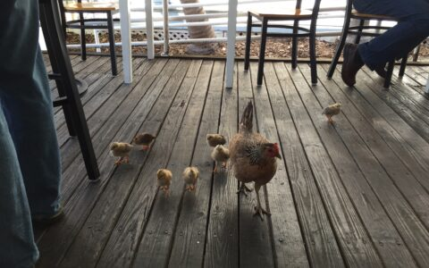 key west chicken family at a local restaurant